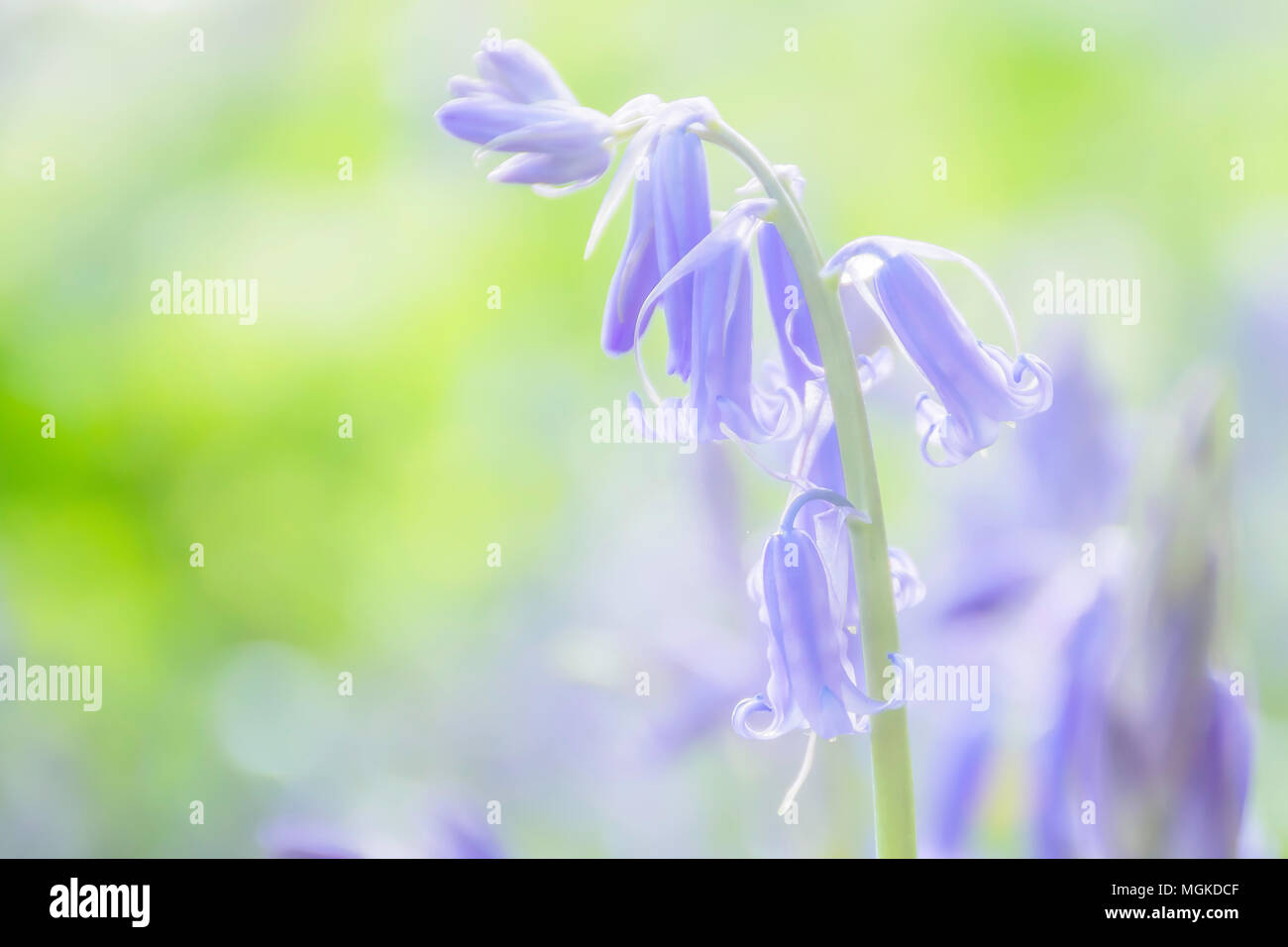 Bluebells in british woodland in spring and morning sunlight on forest floor.Dreamy, soft.British spring flowers,springtime uk.English spring.Nature. - Stock Image