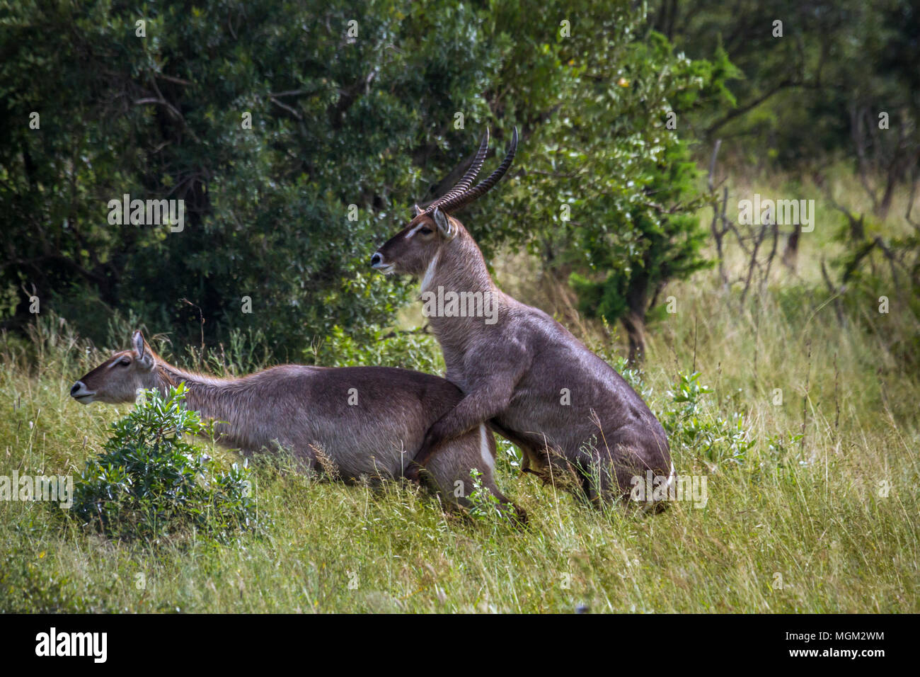 Common waterbuck in Kruger national park, South Africa ;Specie Kobus ellipsiprymnus family of Kobus ellipsiprymnus - Stock Image