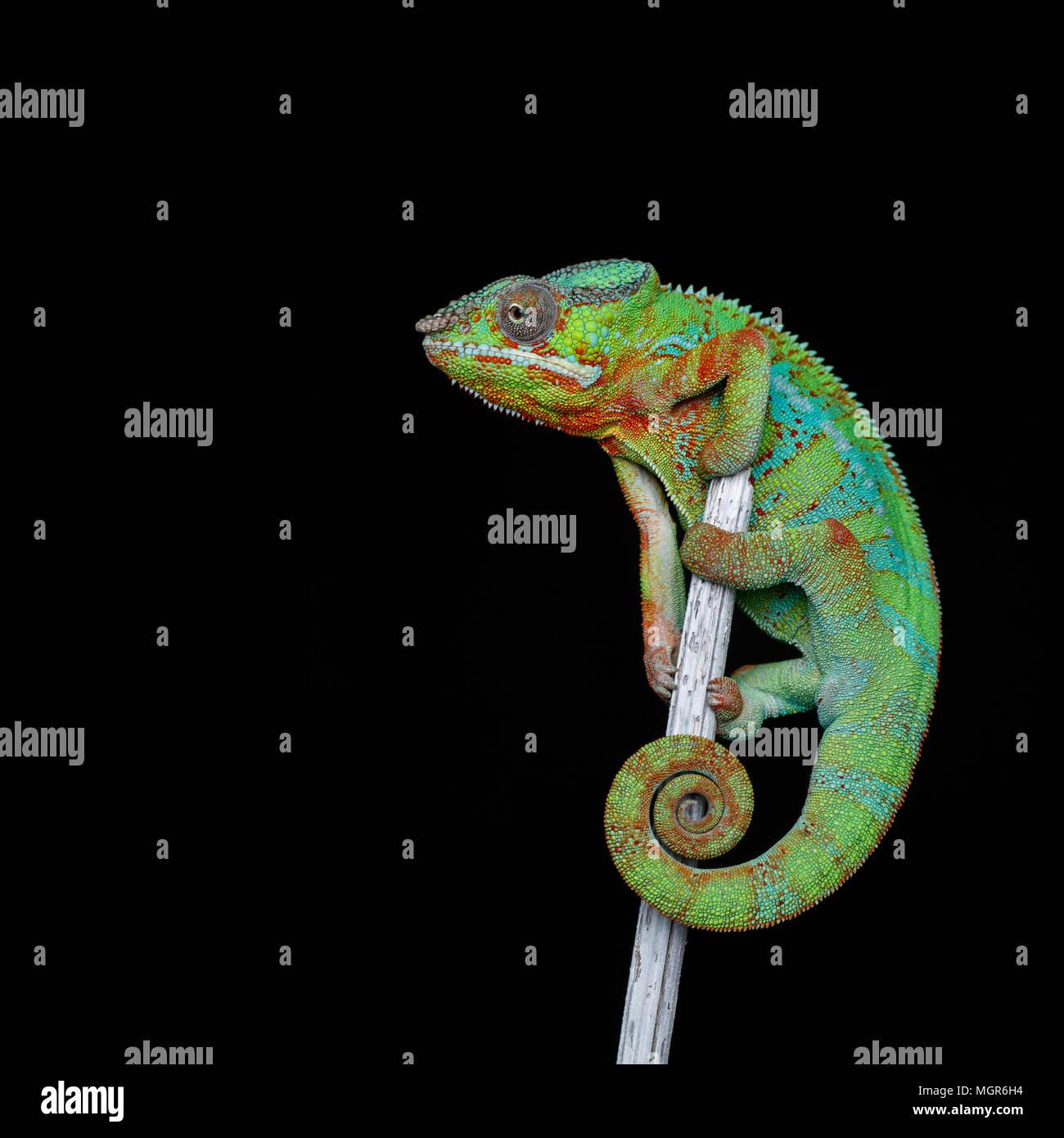 alive chameleon reptile - Stock Image