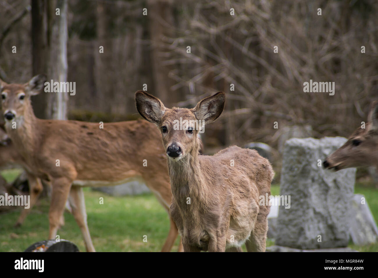 A Portrait of A White-Tailed Deer (Virginia Deer) Stock Photo