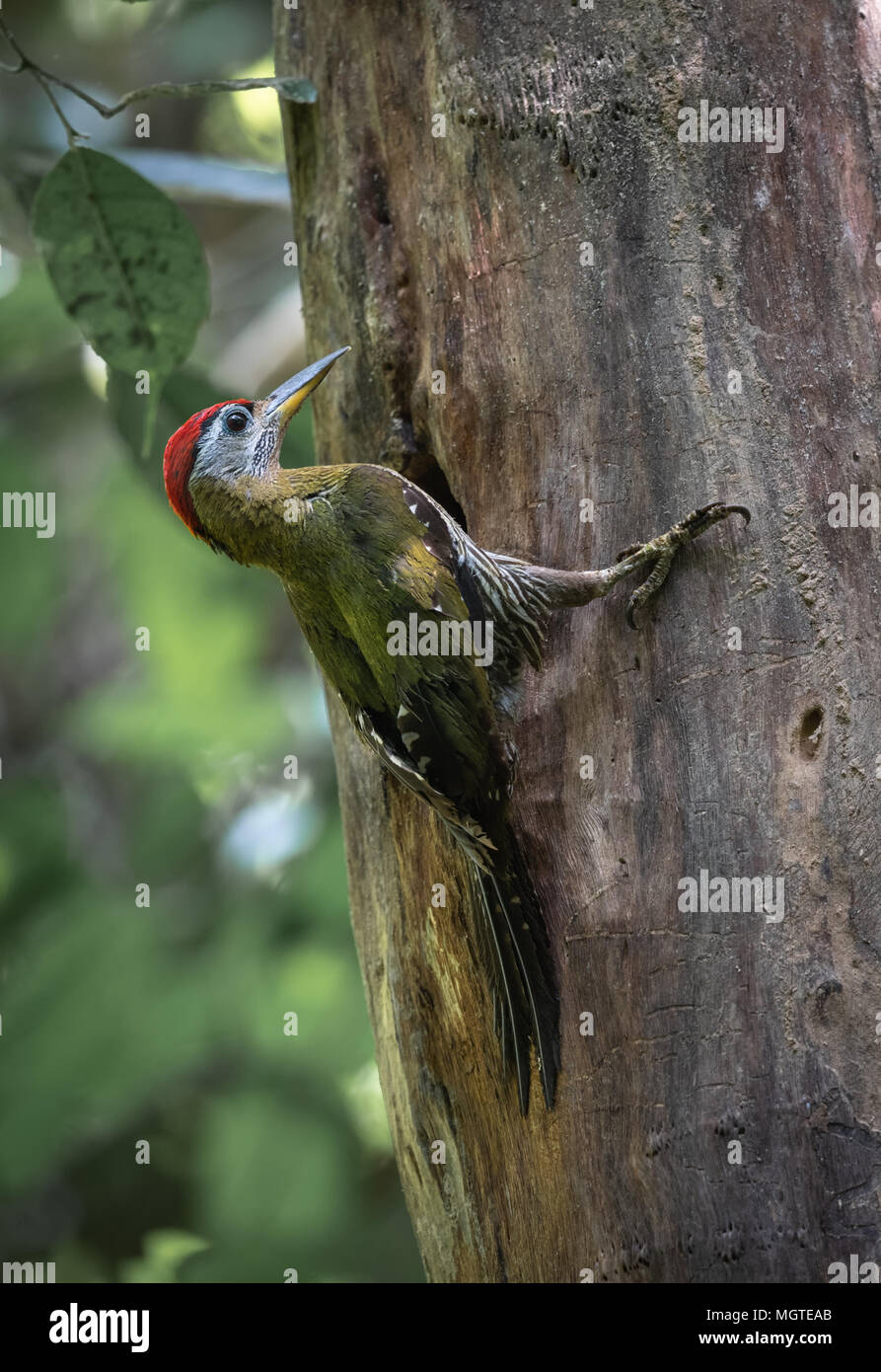 The streak-breasted woodpecker (Picus viridanus) is a species of bird in the family Picidae. Kaeng Krachan National Park, Thailand. - Stock Image