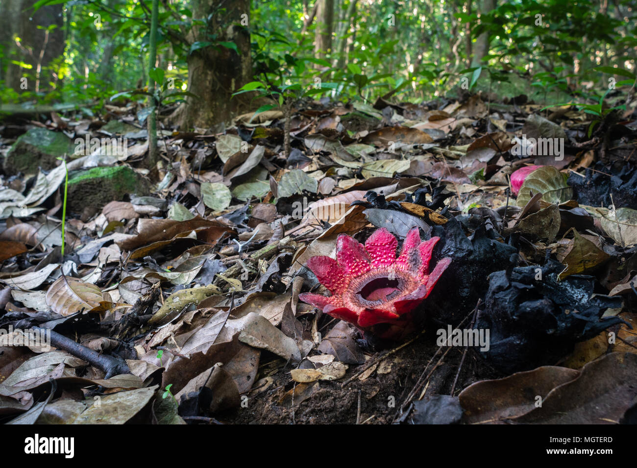 Kaeng Krachan National Park's Sapria himalayana is a root parasite dependent on its host plant for water and nutrients. It is related to the Rafflesia. Stock Photo