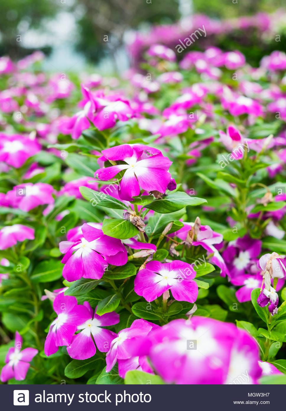 Watercressvinca Flower Bush Pink White Bloom Green Leaf Bright