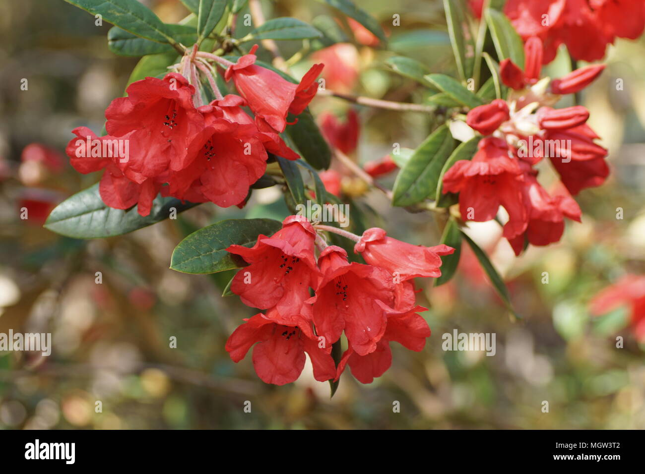 Rhododendron 'May Day' Stock Photo