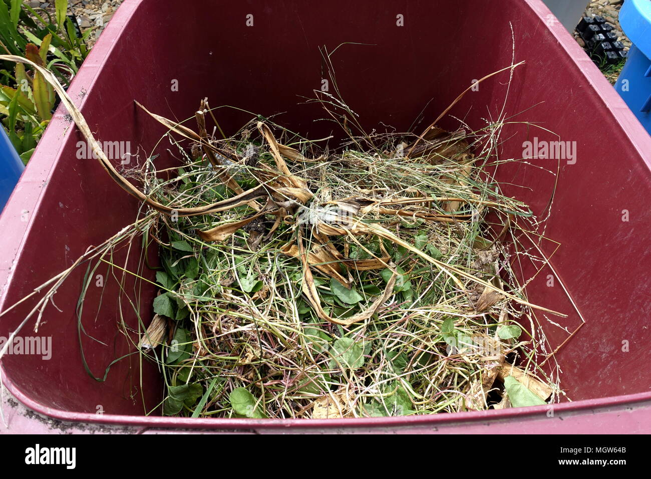 Grass clippings in rubbish bin - Stock Image