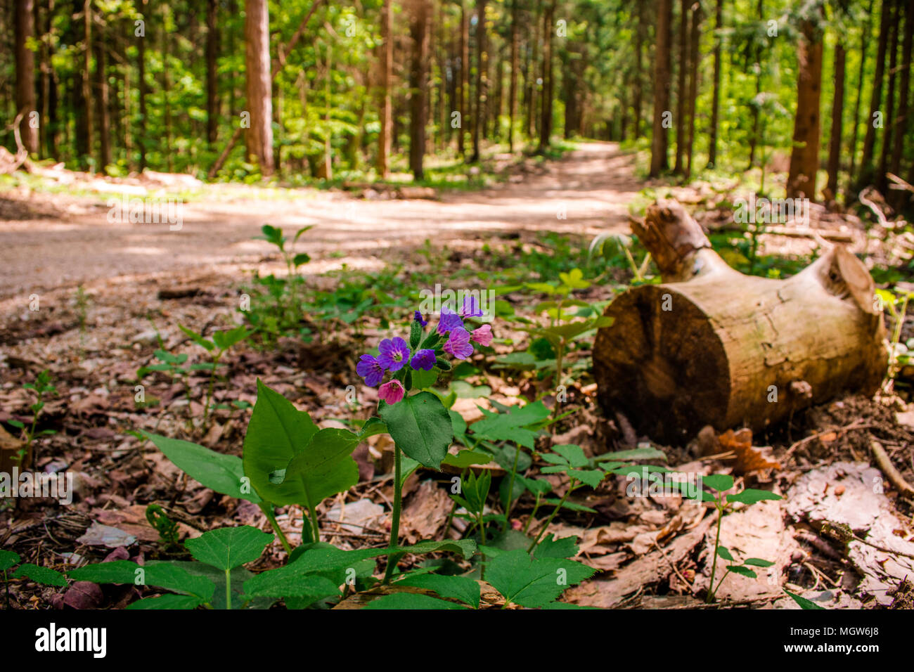 Firs forrest - Stock Image