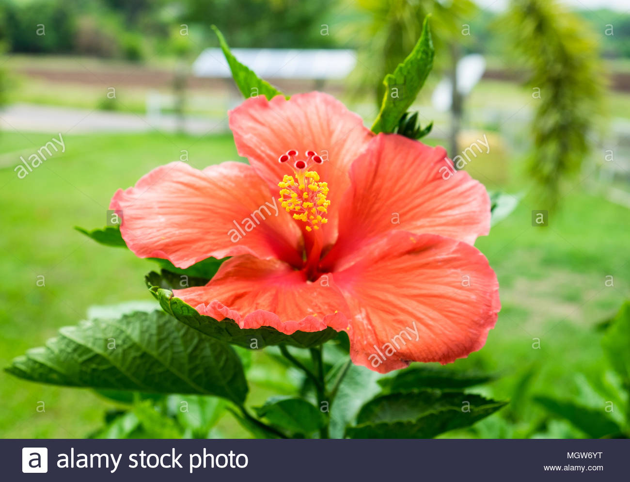 Red Orange Hibiscus China Rose Hawaiian Flower Blossom Colorful