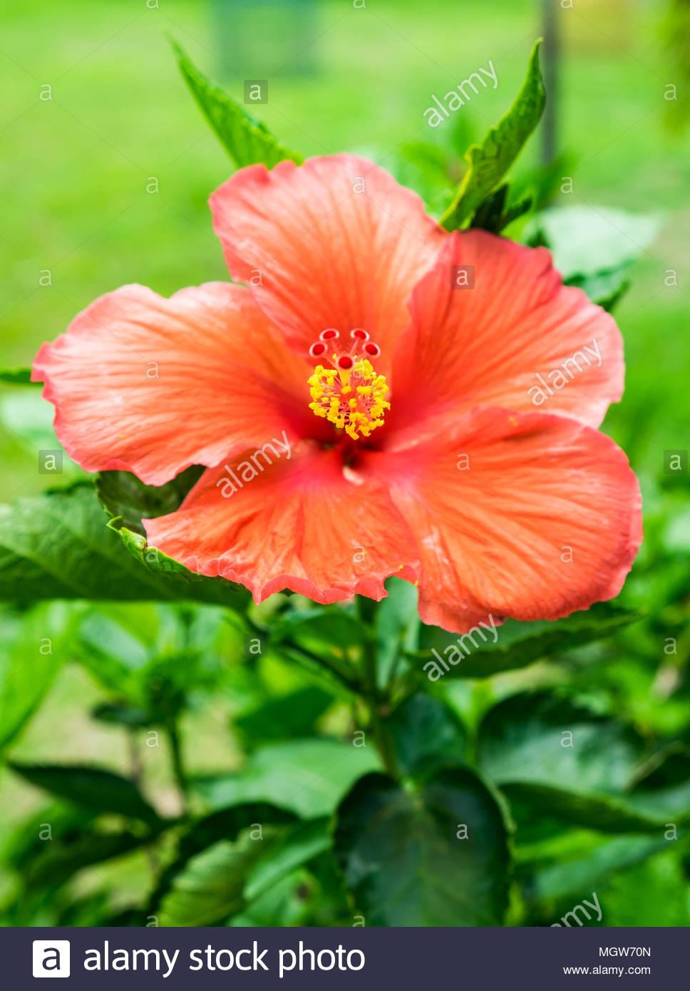 Red orange hibiscus china rose hawaiian flower blossom colorful red orange hibiscus china rose hawaiian flower blossom colorful ornamental izmirmasajfo