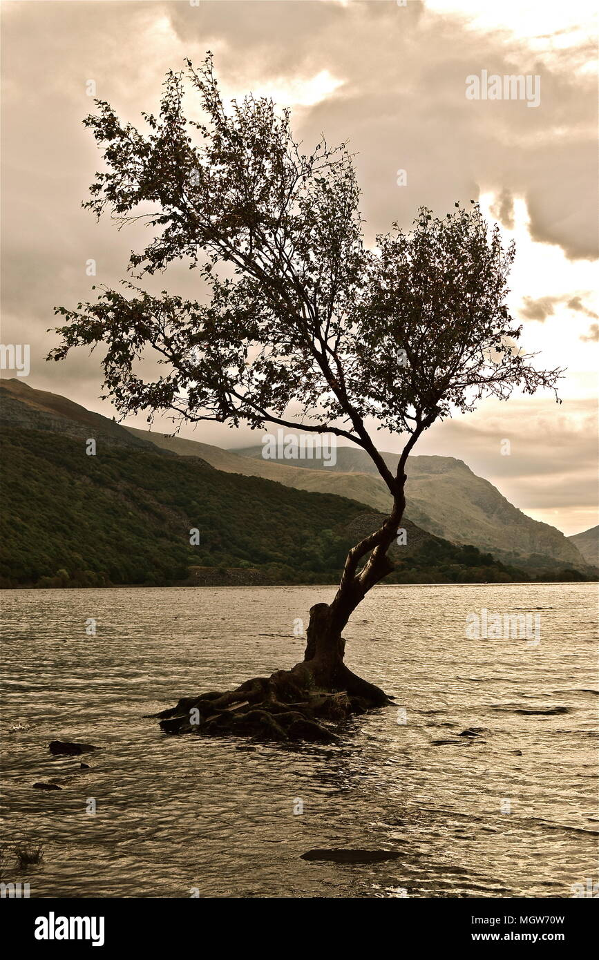 Single tree, the famous lone tree, sitting on a pile of rocks on the shores of Llyn Padarn. Surrounded by lake. Hills, mountains, clouds in the back. Stock Photo