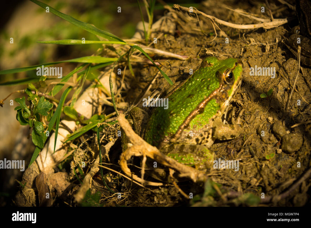 Green river frogs - Stock Image