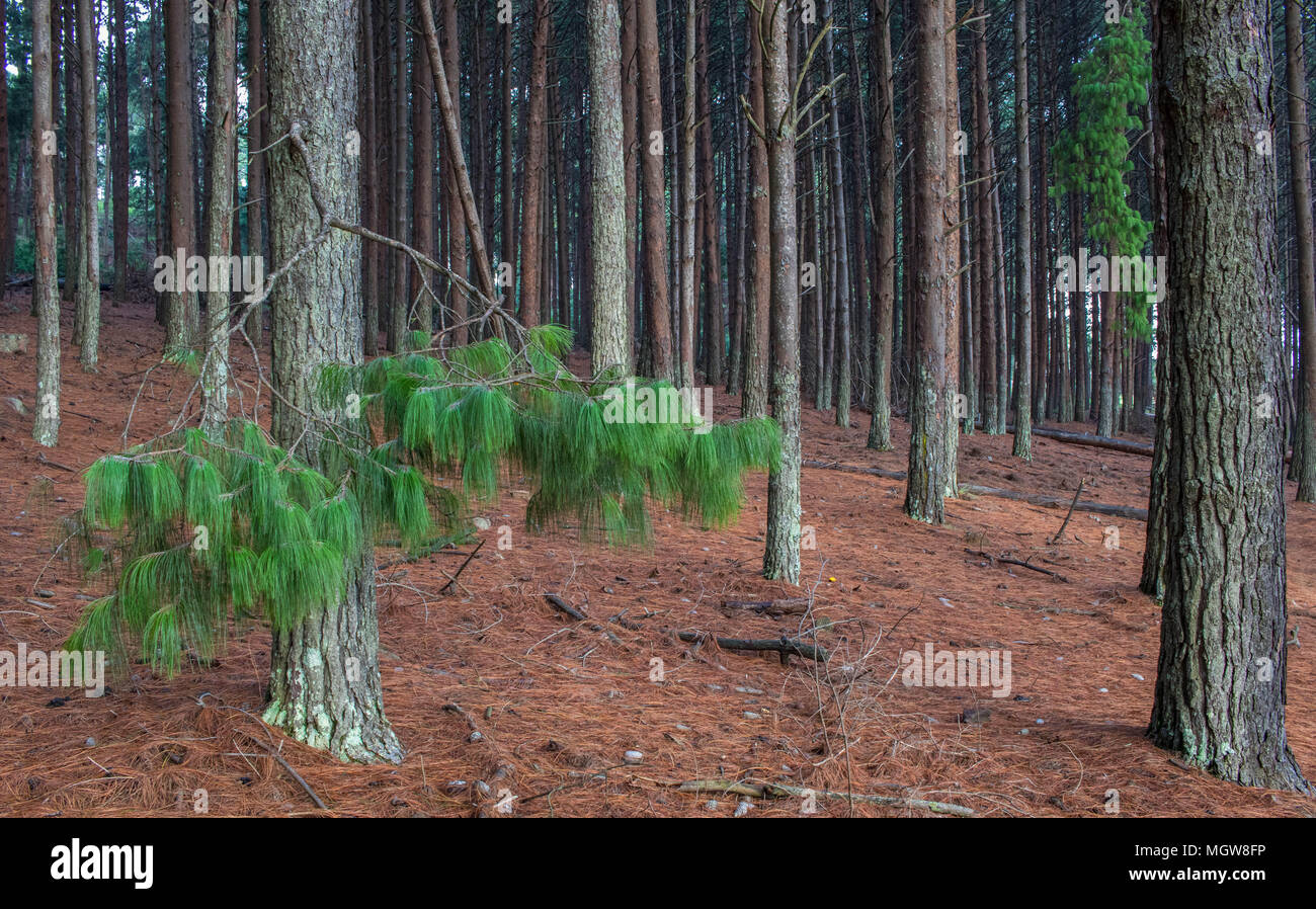 Pine trees in a forest image for background use with copy space in landscape format - Stock Image