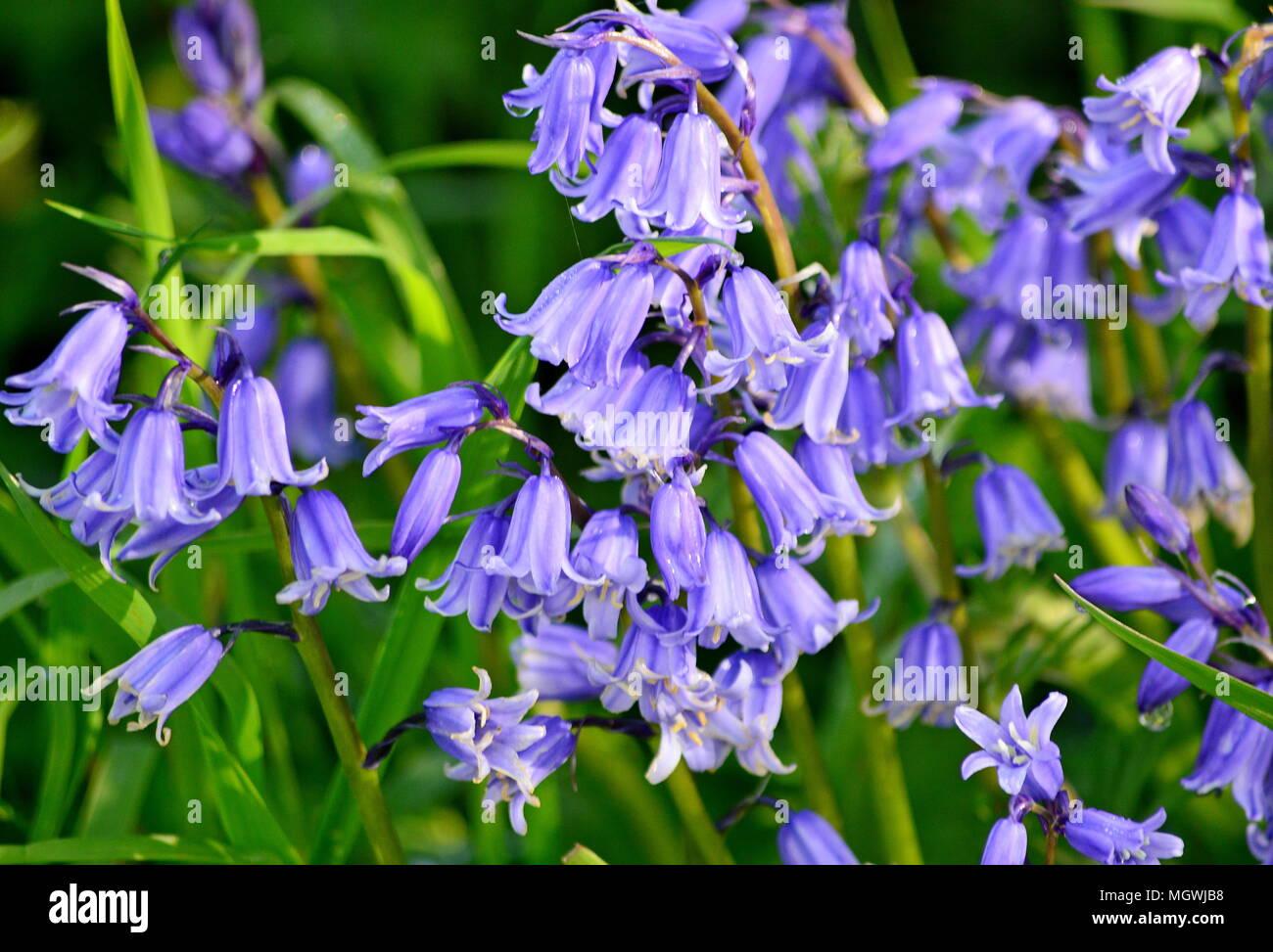 Bluebells in Devon Lane - Stock Image