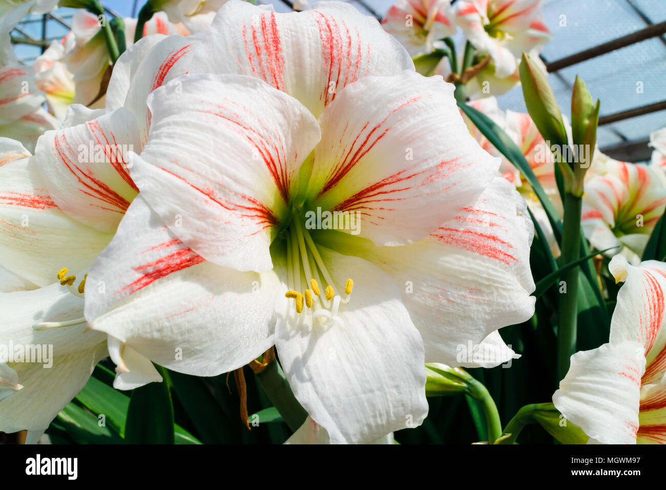 Large trumpet like white with a touch of pink Amaryllis flowers. Stock Photo