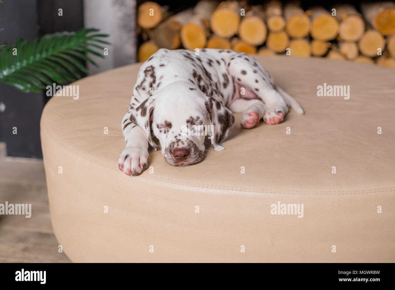 Sleeping dog at bed. Pet at home.Cute portrait of dalmatian puppy 8 weeks old. Small dalmatian Puppy. Copy space - Stock Image
