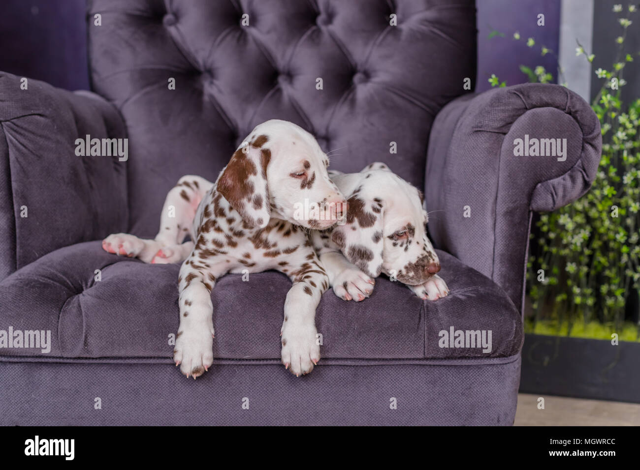 two adorable dalmatian puppies on a chair idoors - Stock Image
