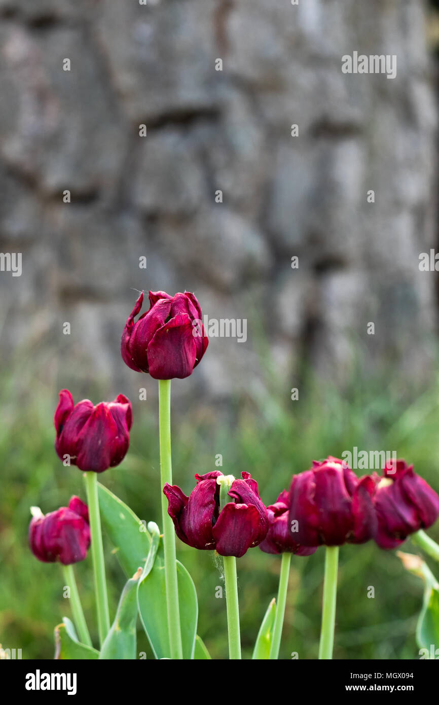 Lila tulips in the garden - Stock Image