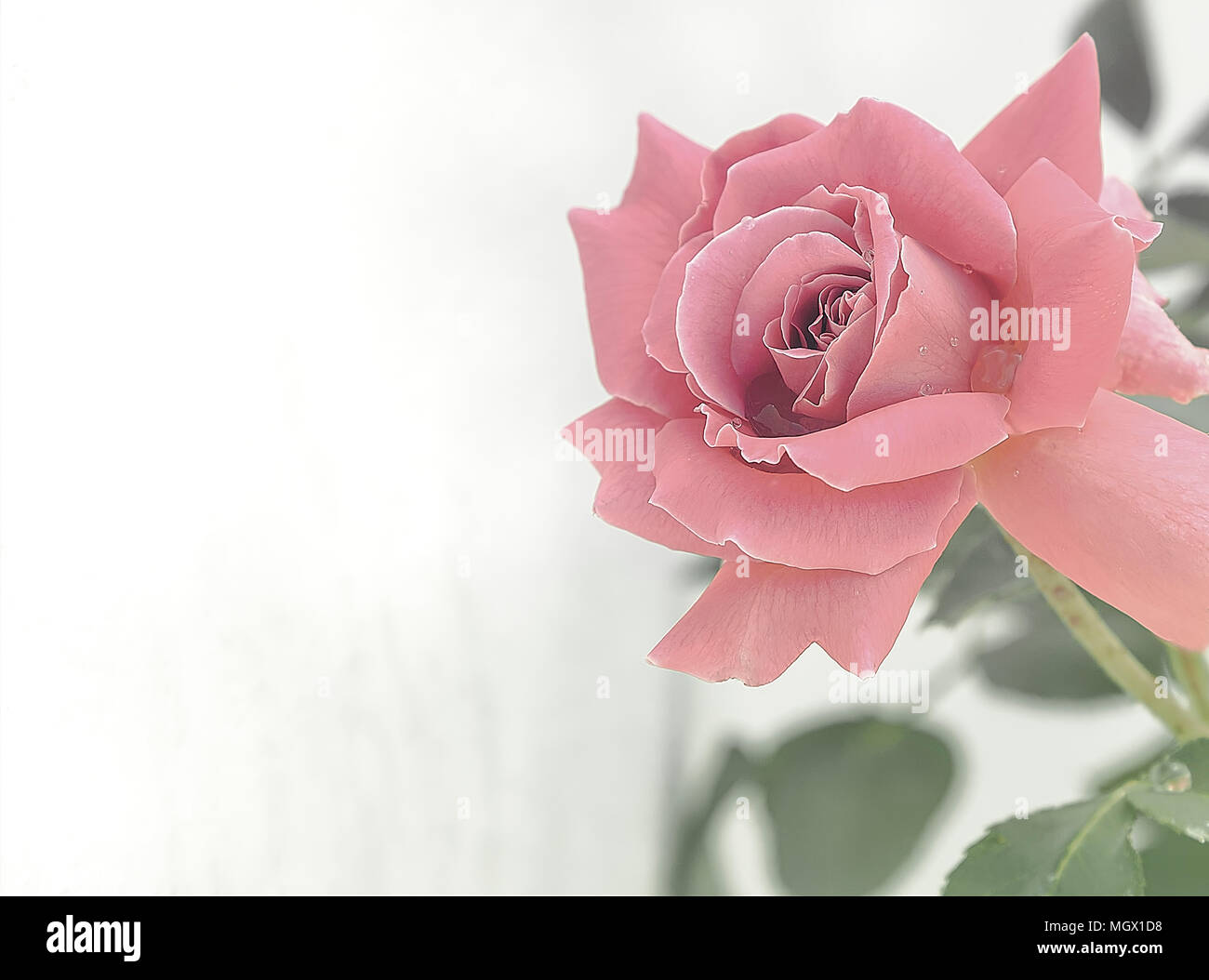 Baby Pink Rose with a white background. Stock Photo. - Stock Image