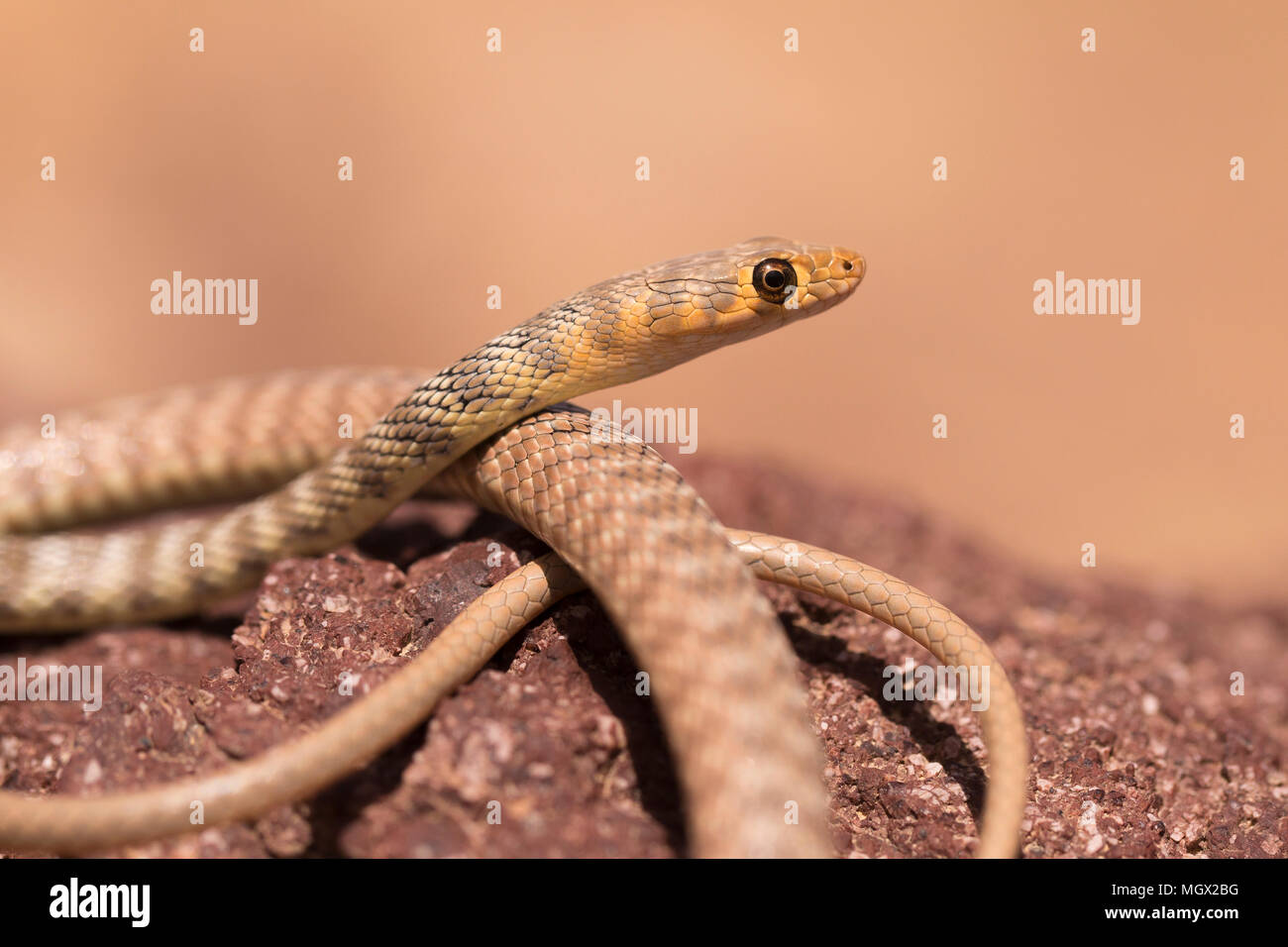 Braid Snake or Jan's Cliff Racer (Platyceps rhodorachis) is a species of snake found in Central Asia and the Middle East. Photographed in Israel in Ma - Stock Image