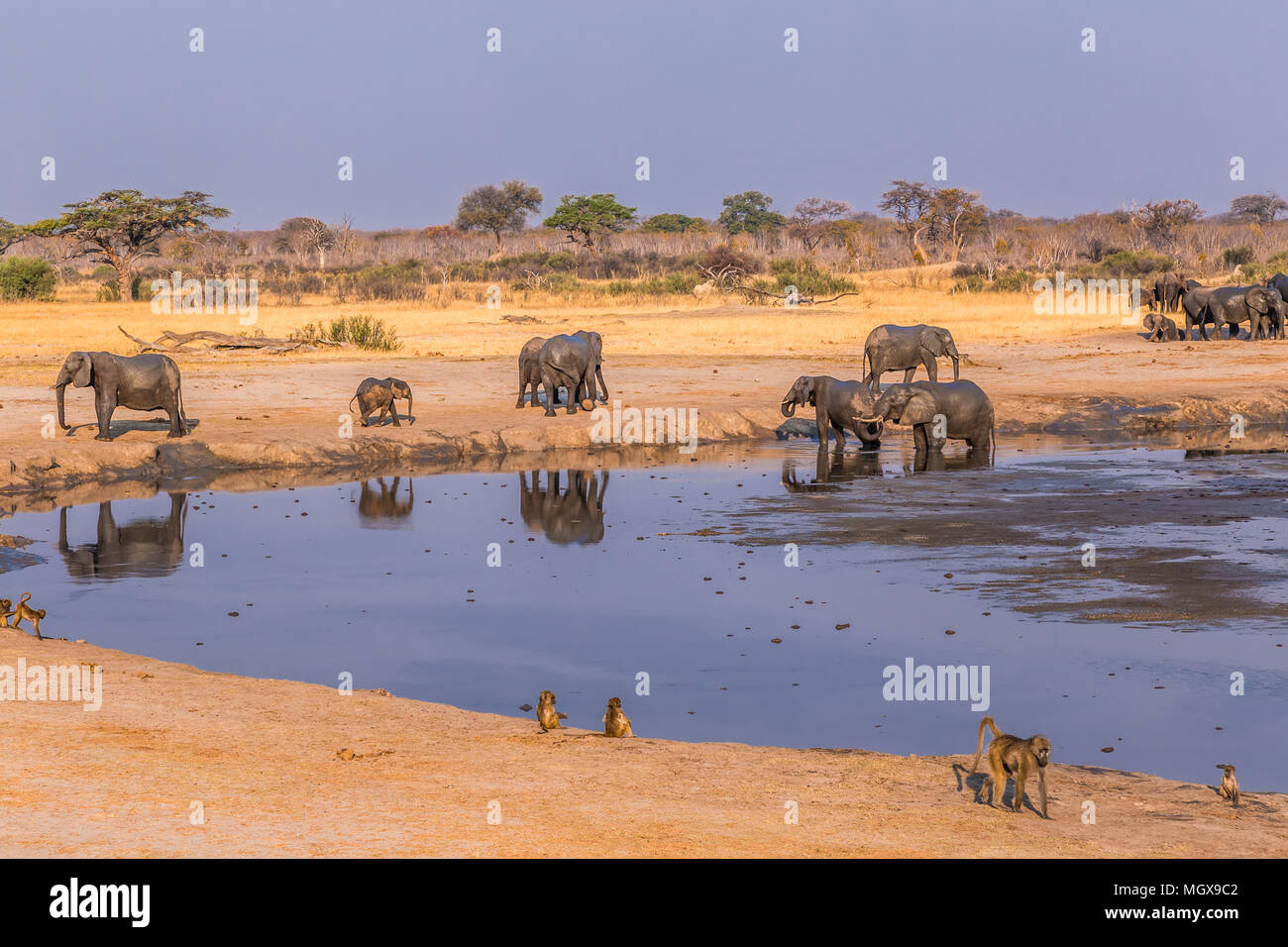 Elephants and baboons gather around a shrinking waterhole during a drought in Hwange National Park, Zimbabwe, September 9, 2016. Stock Photo