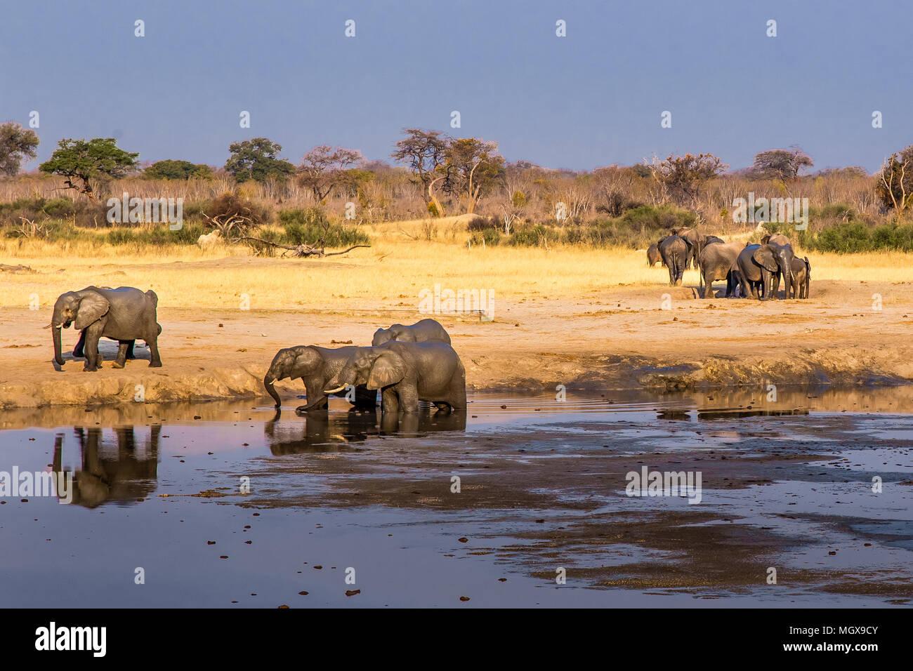 Elephants gather around a shrinking waterhole during a drought in Hwange National Park, Zimbabwe, September 9, 2016. Stock Photo