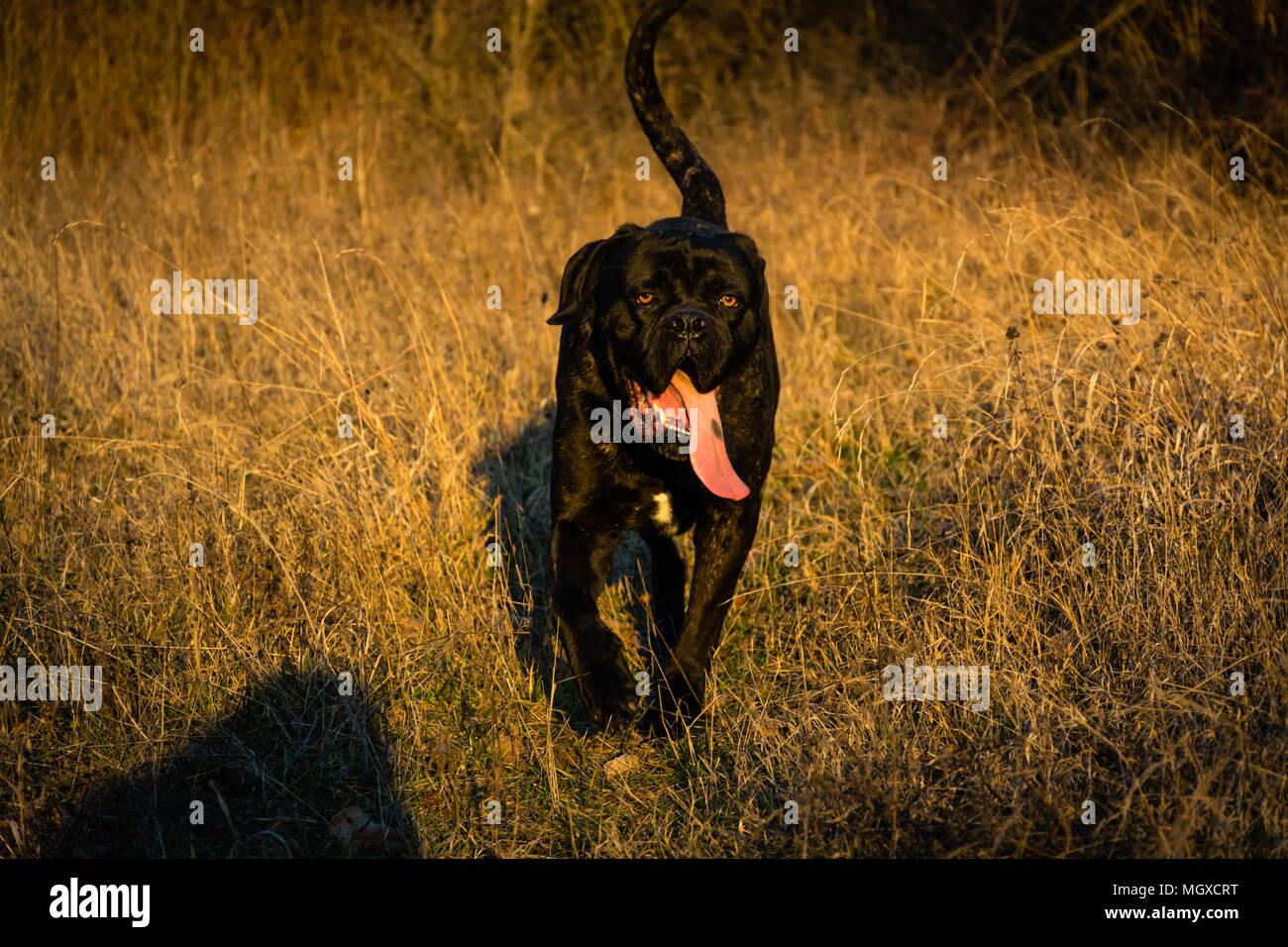 Big Black Dog Cane Corso Italian Mastiff Walking In A Field With