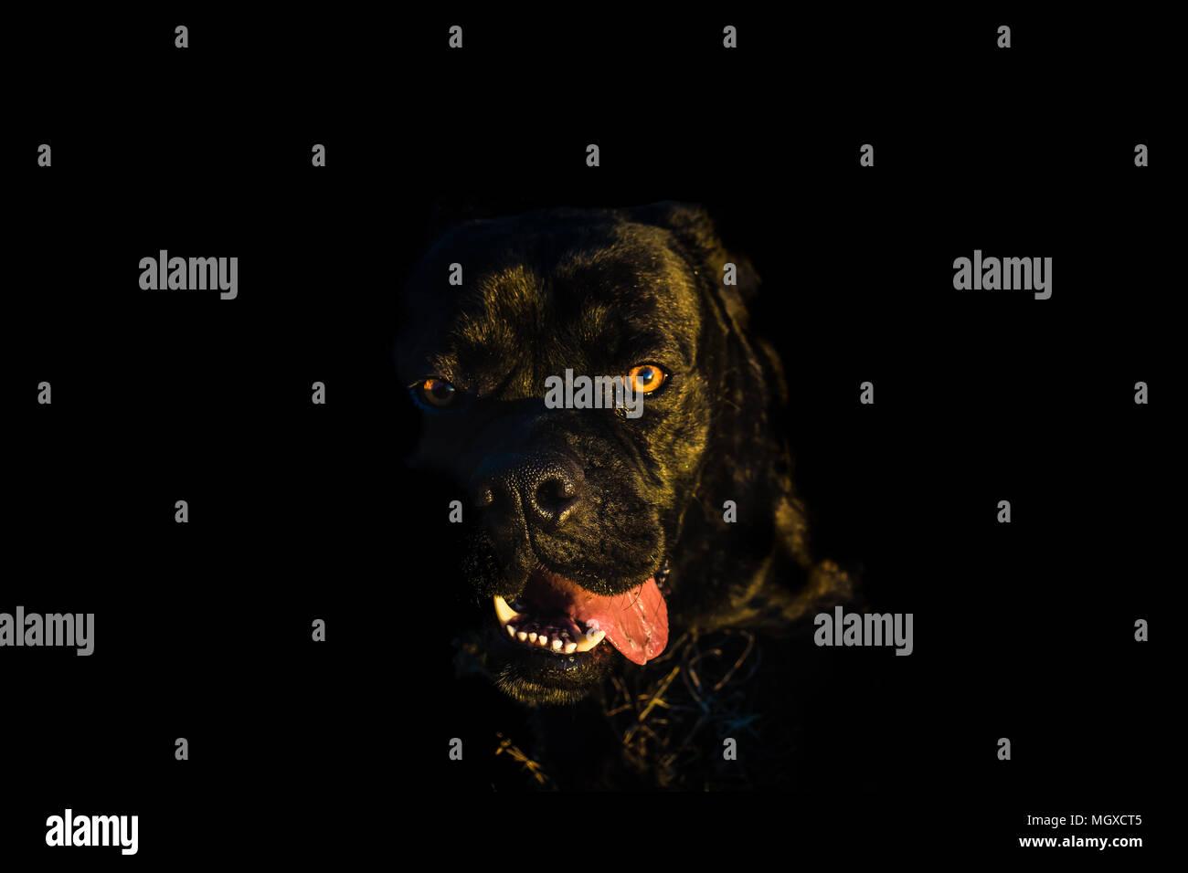 Portrait of a big black dog; eyes on camera; cane corso; italian bullmastiff - Stock Image