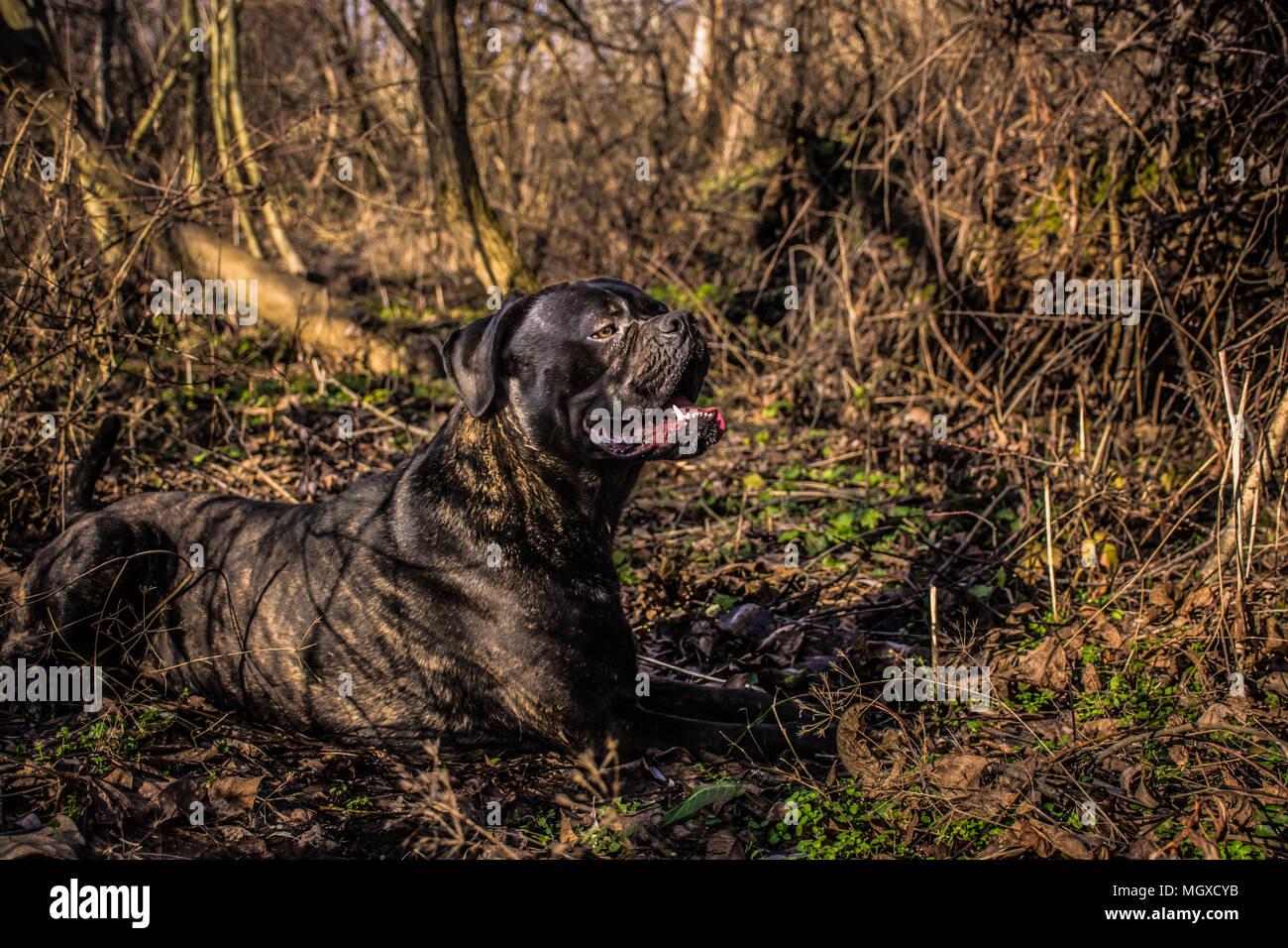 Big Black Dog Cane Corso Italian Mastiff Lying Down And Resting In