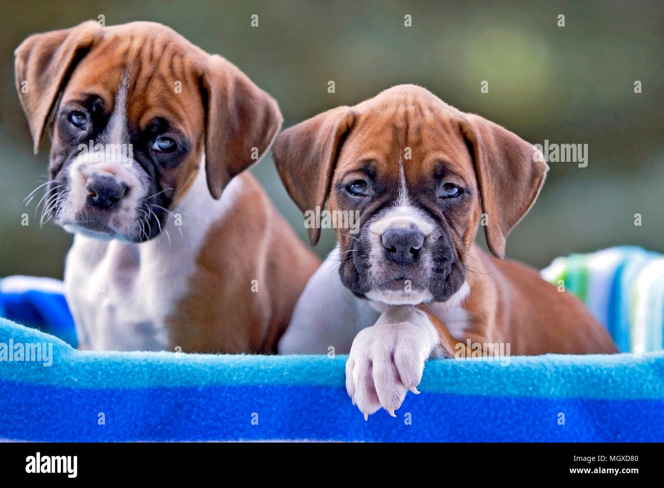 German Boxer Stock Photos & German Boxer Stock Images - Alamy