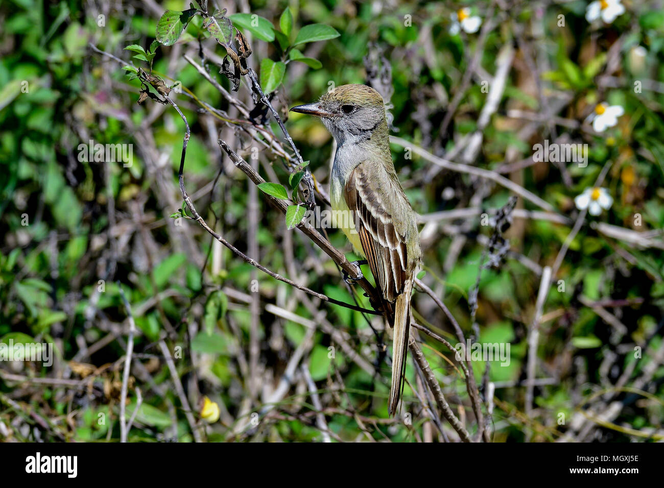 Great Crested Flycatcher - Stock Image