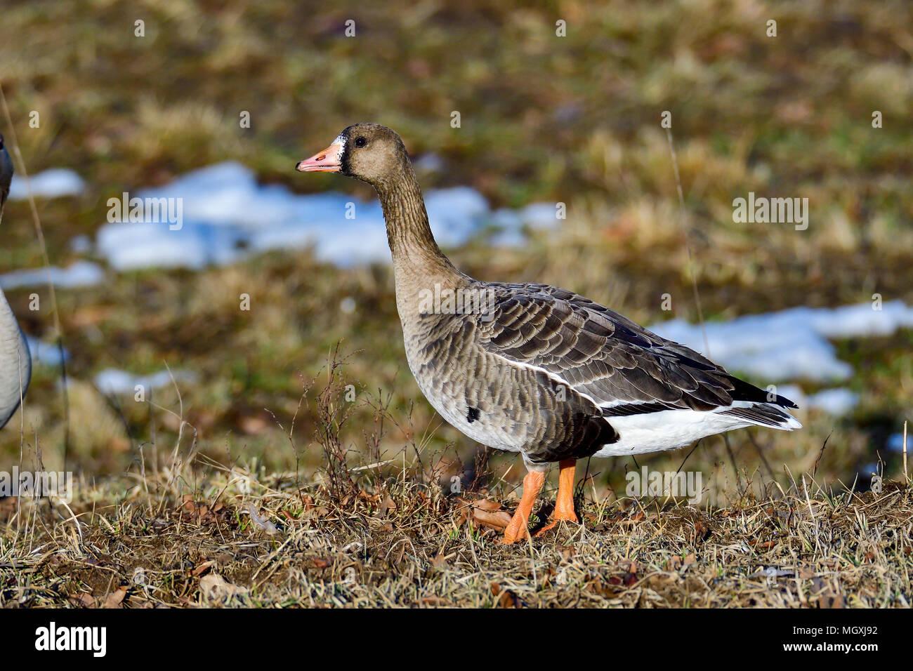 Taiga bean goose - Stock Image