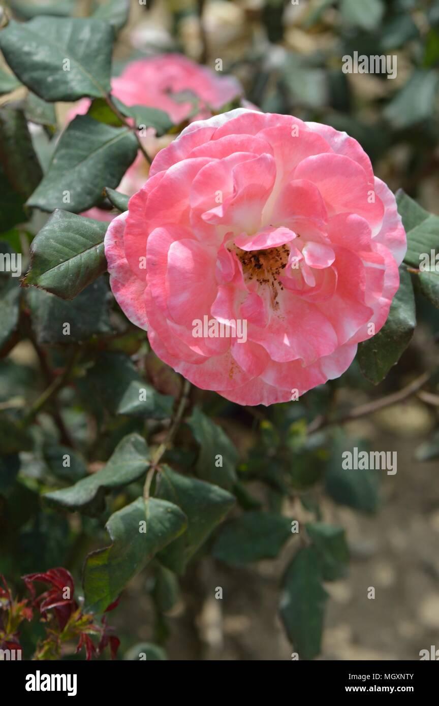 Rose English Rose English new pics