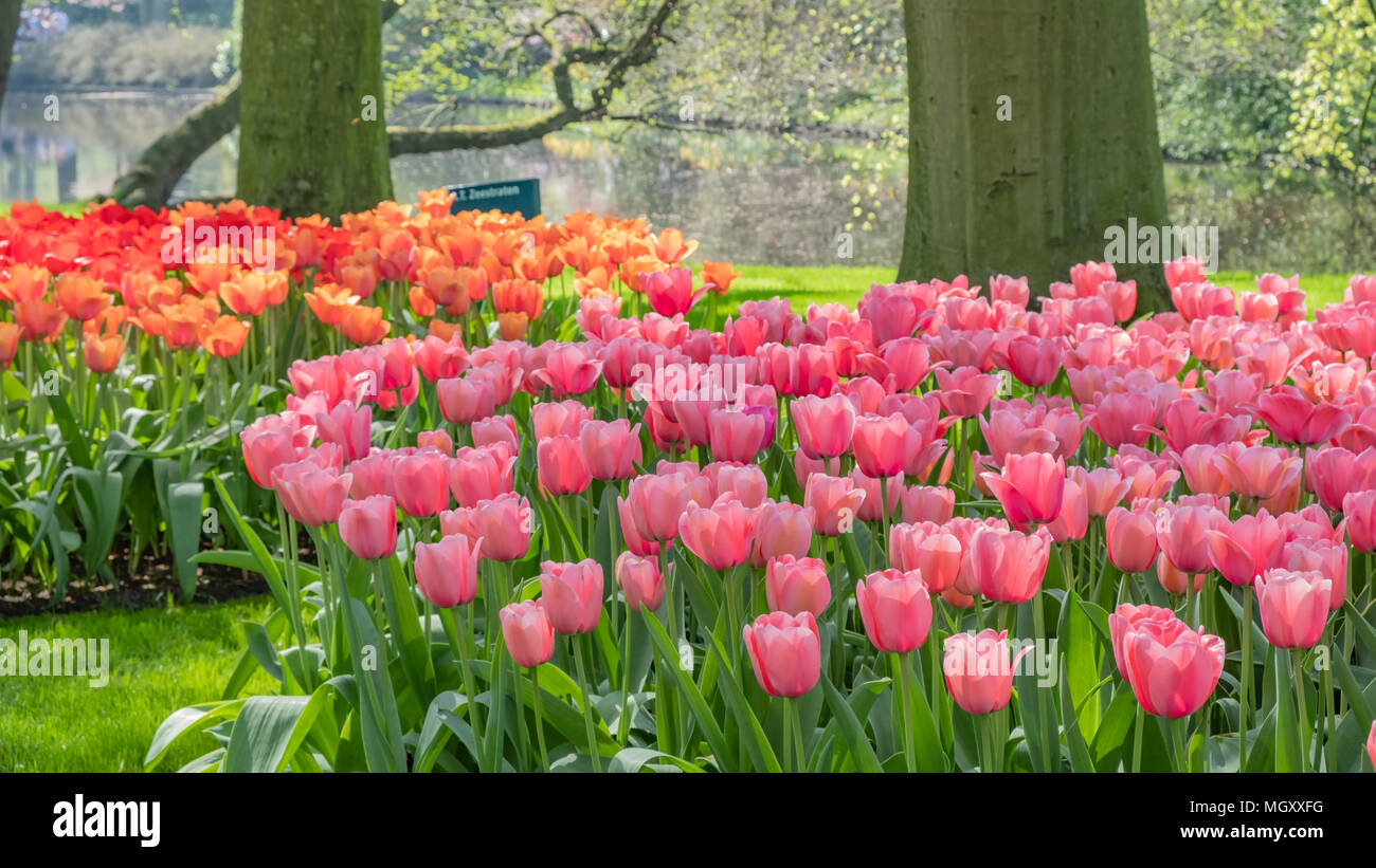 Keukenhof, known as the Garden of Europe, is located in Lisse South Holland Netherlands.  Open for 8 weeks each year it attracts over 800000 visitors  - Stock Image