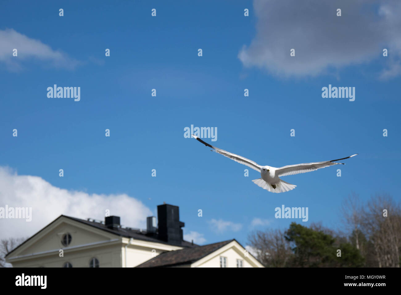 Flying seagull. Taken with Nikon D5300 - Stock Image