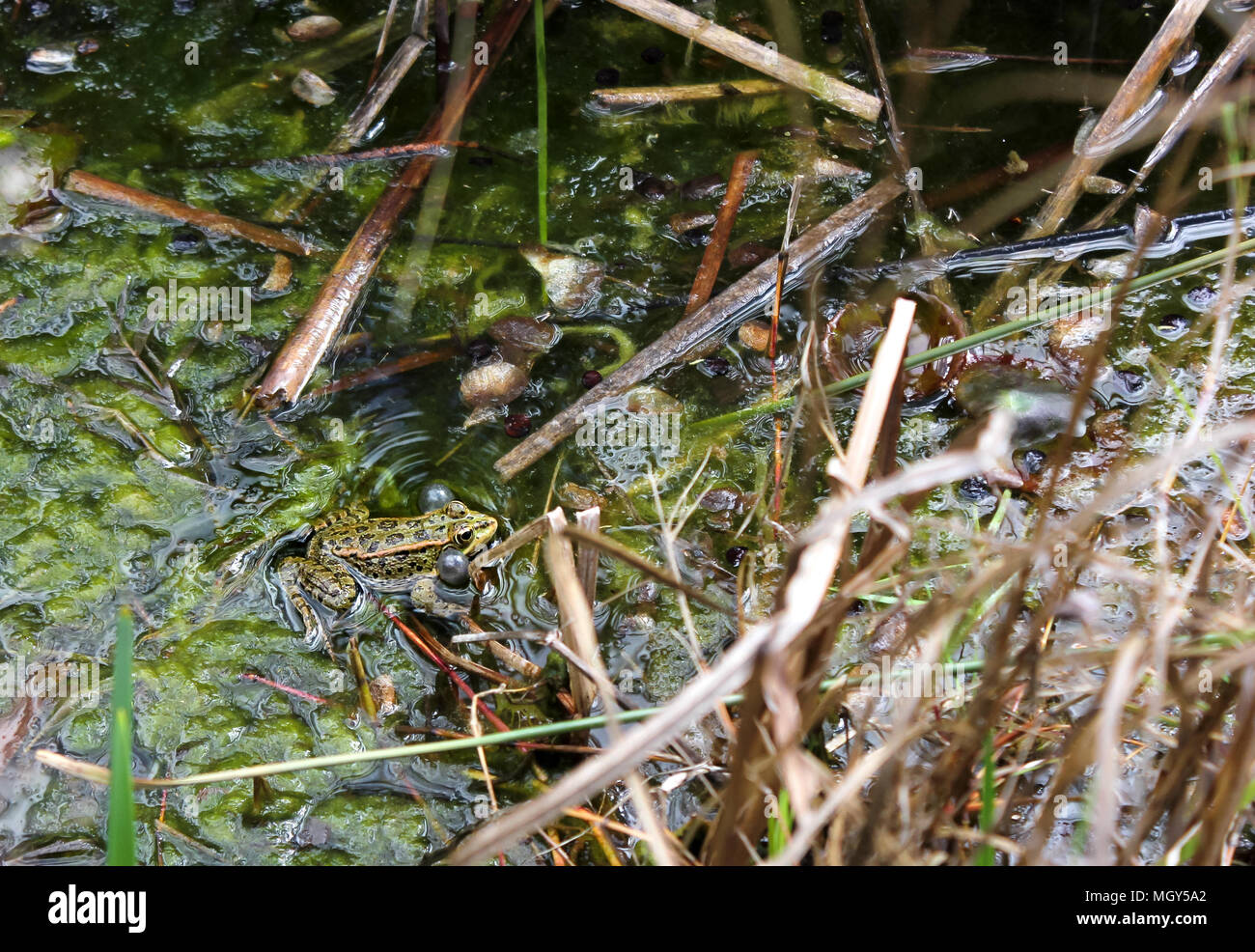 frog croaking in a pond. Madrid botanical garden - Stock Image