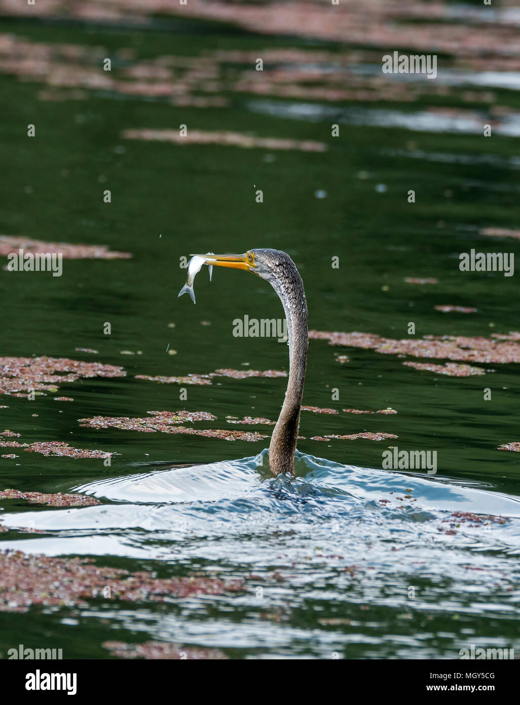 A darter holding a fish in its beak during their daily fishing routine inside bharatpur bird sanctuary - Stock Image