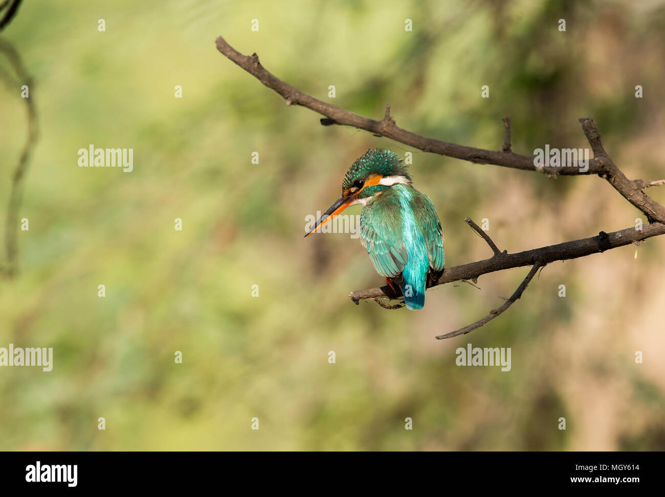A white breasted king fisher sitting on a perch and scanning its surroundings for any movement - Stock Image