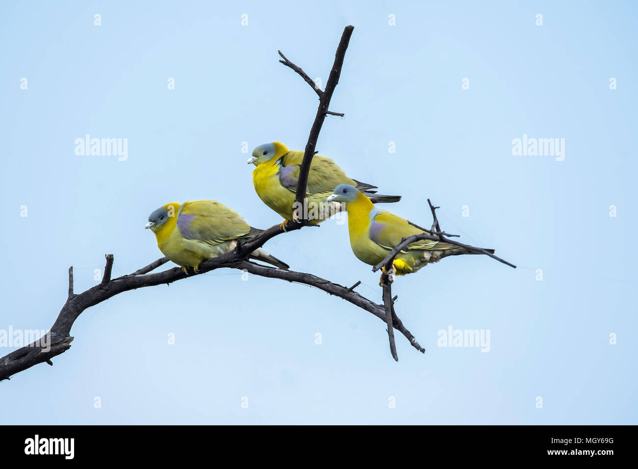 Green footed green pigeon family roosting on top of a tree inside bharatpur bird sanctuary - Stock Image