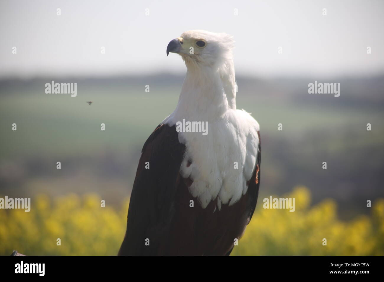 Taking Photos Of Birds Of Prey Is My Hobby - Stock Image