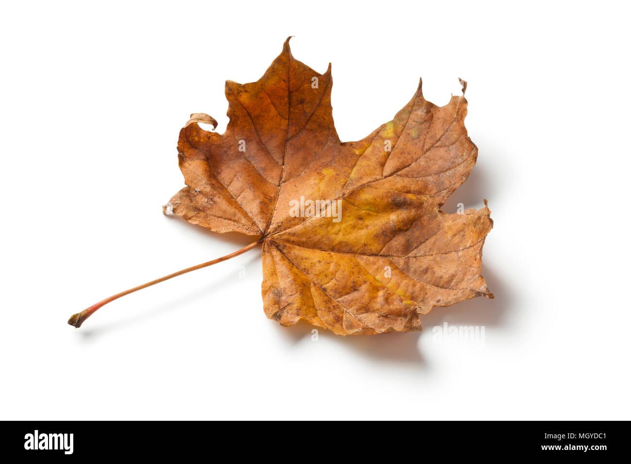 Single maple tree leaf in autumn on white background - Stock Image