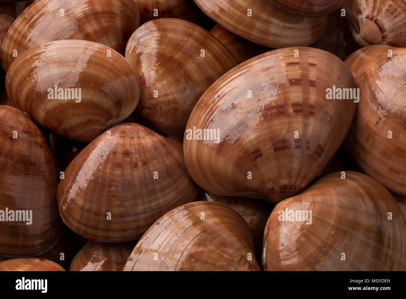 Fresh raw closed smooth clams full frame close up - Stock Image
