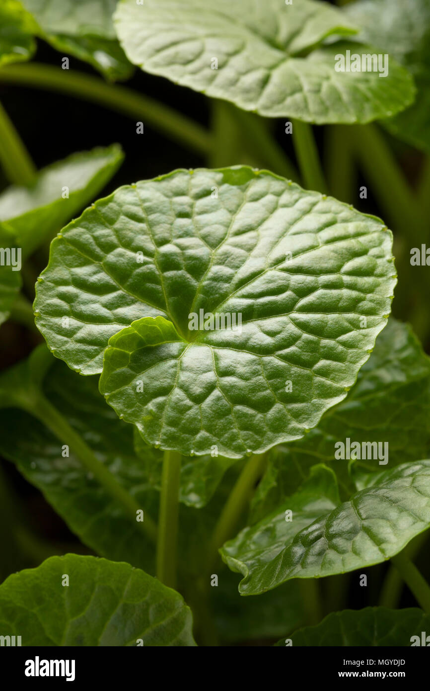 Fresh green leaf of a wasabi plant close up Stock Photo