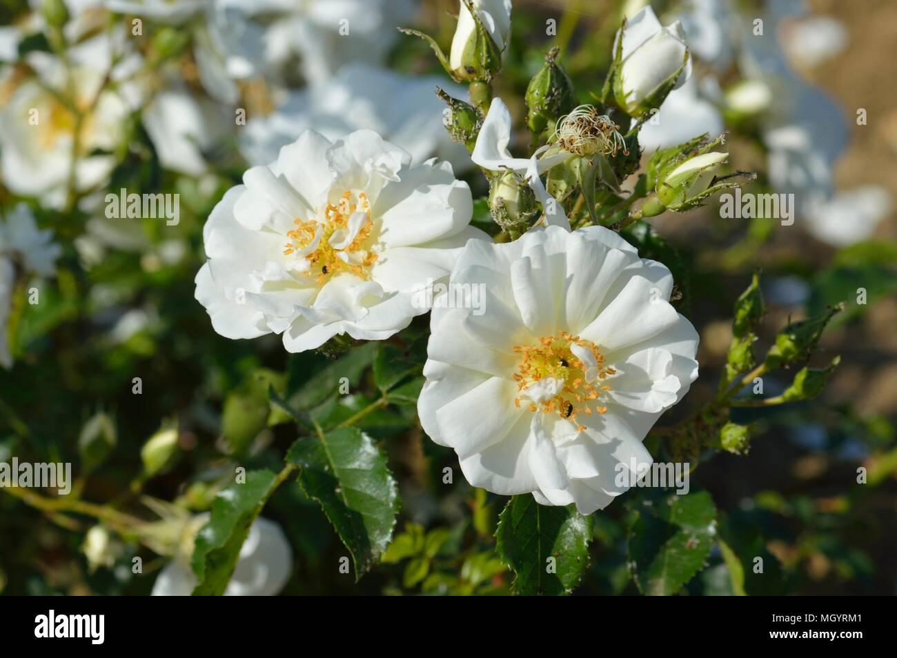 Rose Flower Carpet White Stock Photo 182549473 Alamy