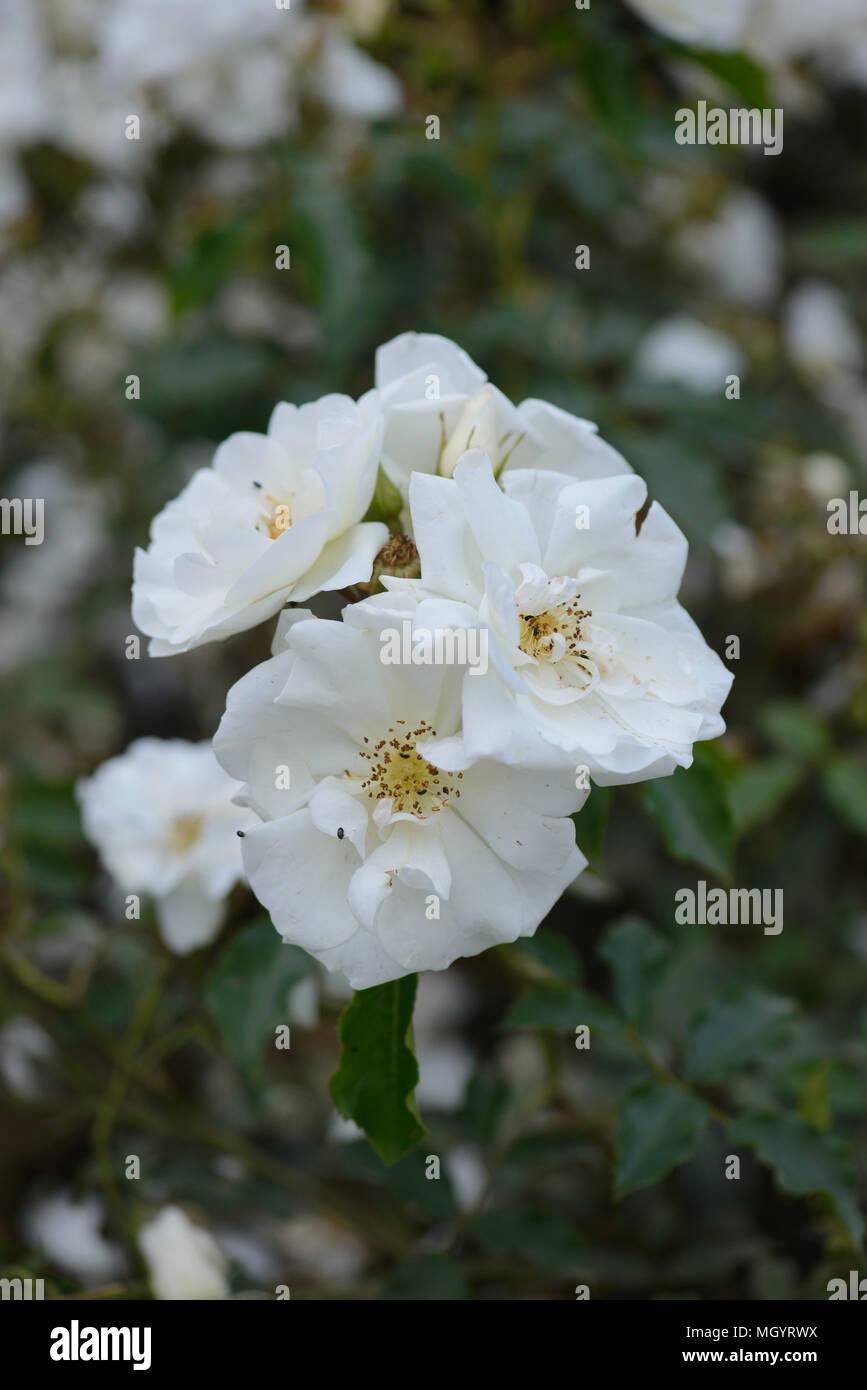 Rose Flower Carpet White Stock Photo 182549638 Alamy