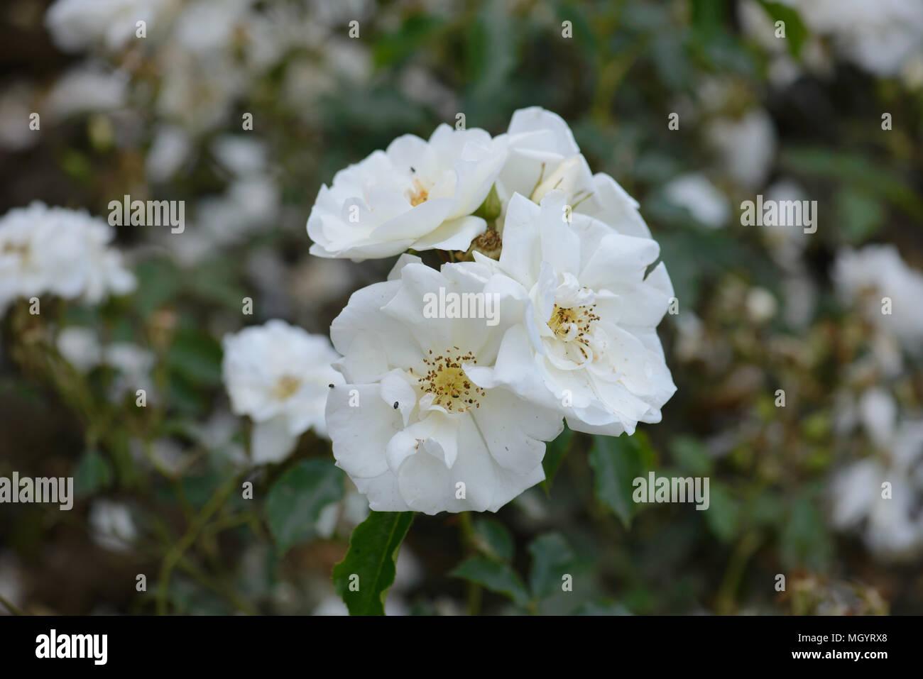 Rose Flower Carpet White Stock Photos Rose Flower Carpet White