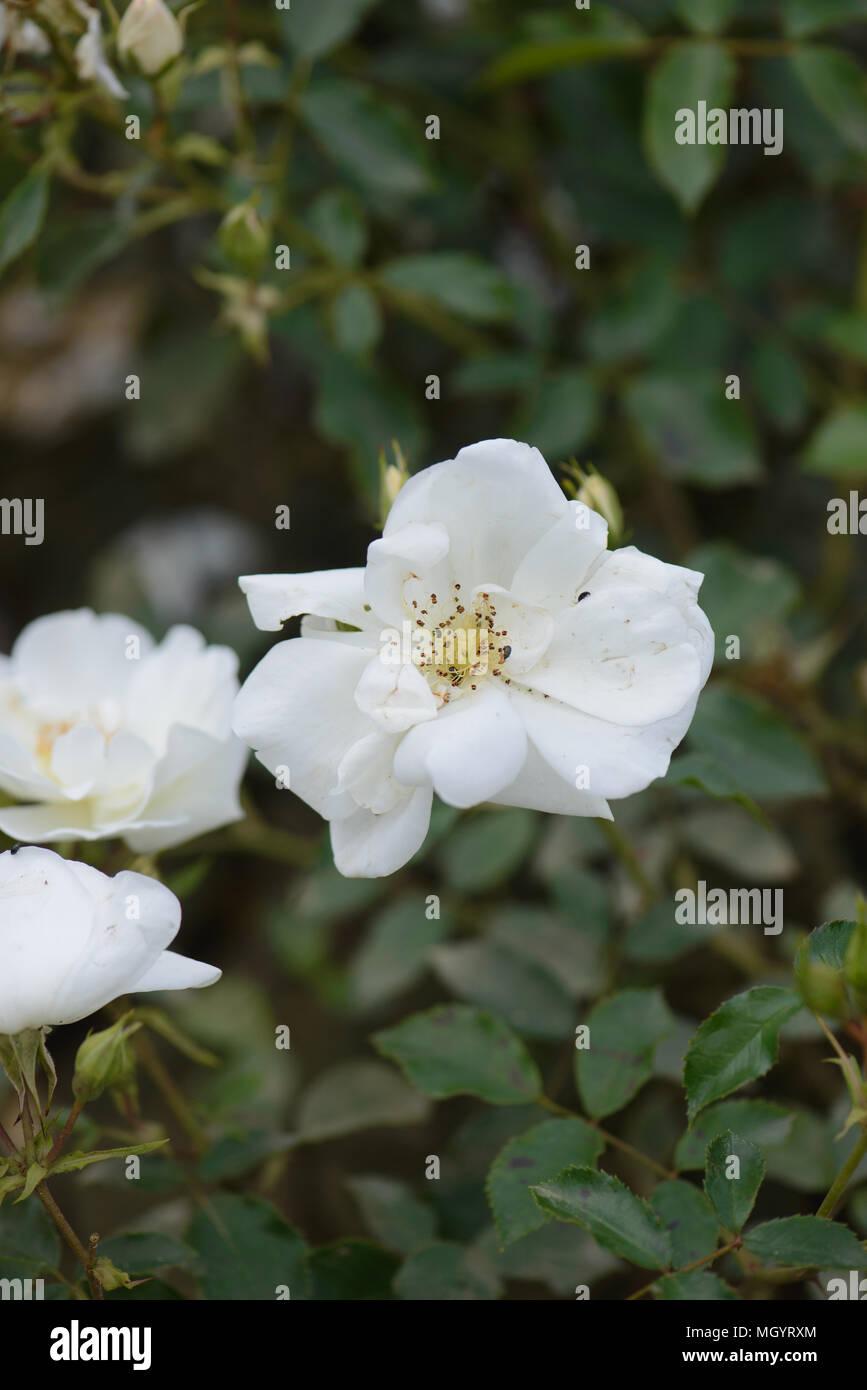 Rose Flower Carpet White Stock Photo 182549660 Alamy
