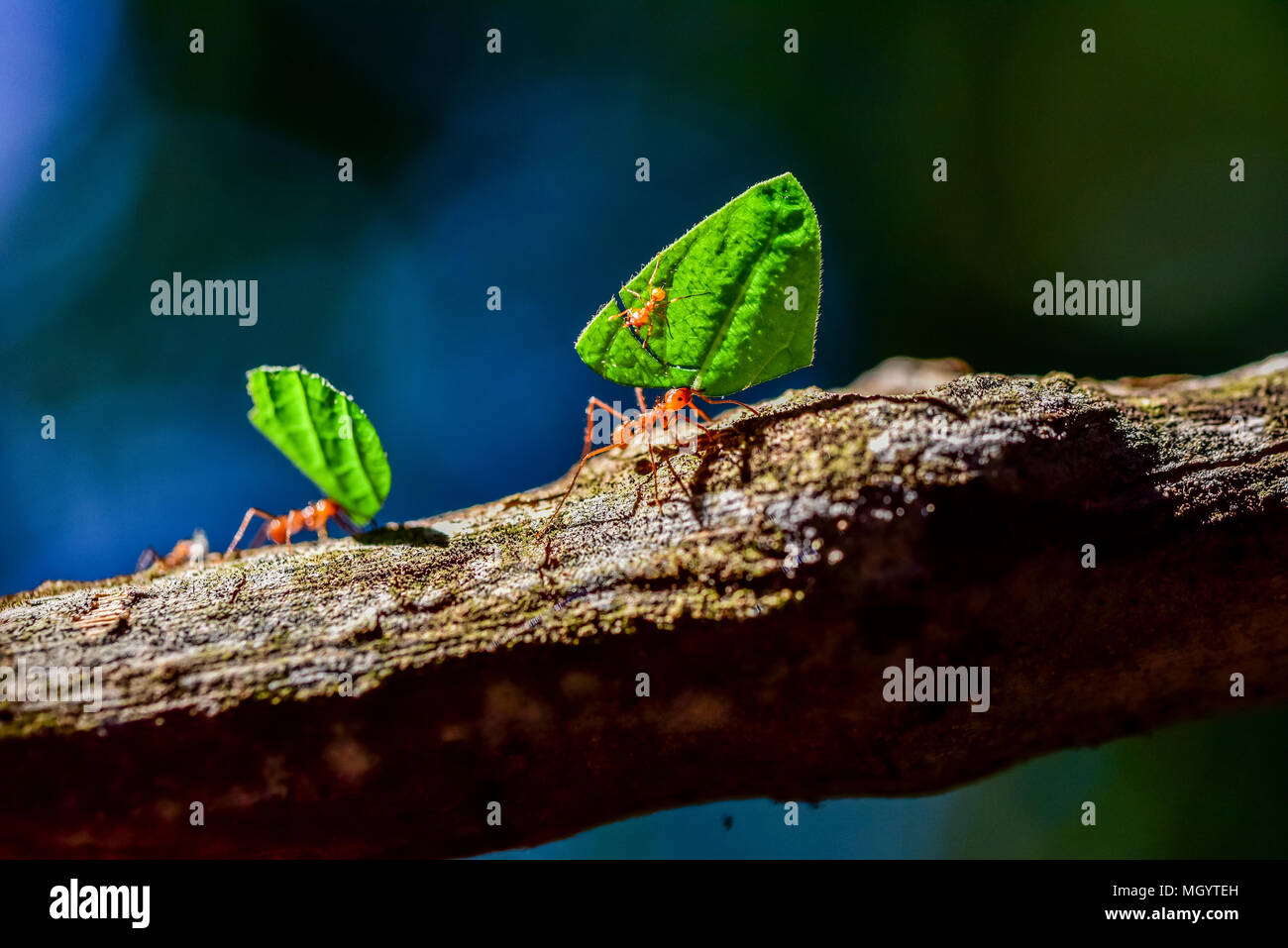 Ants are carrying on leaves - Stock Image