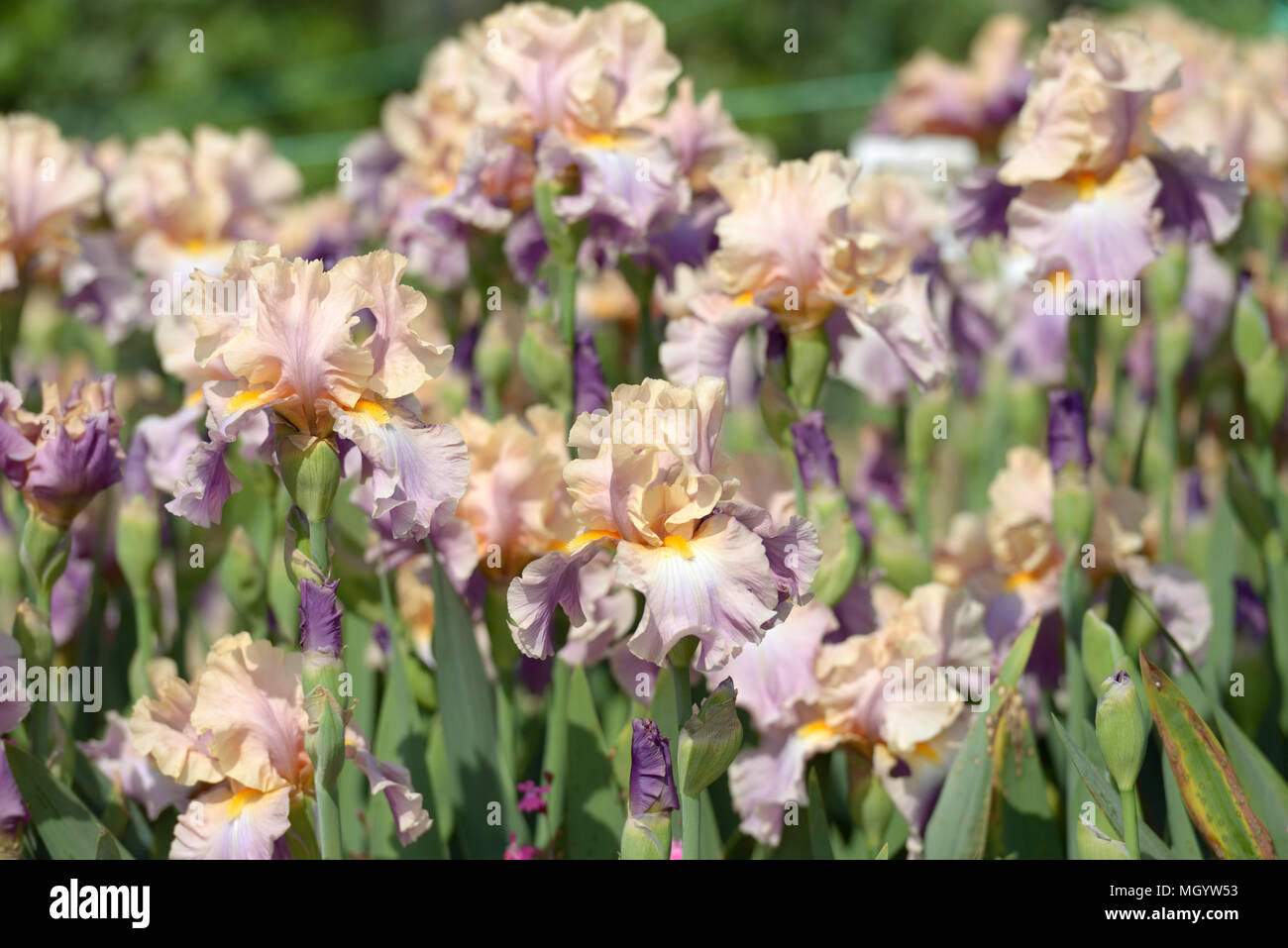Flowers Of Bearded Iris On A Flower Bed Stock Photo 182550623 Alamy