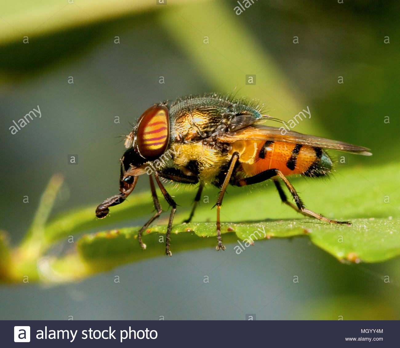 Close view of a fly taking rest on a leaf. - Stock Image