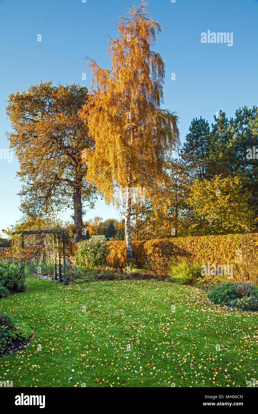 English country garden in the Autumn with Silver birch tree Betula pendula Beech hedge  Fagus sylvatica and English Oak Quercus robur Stock Photo