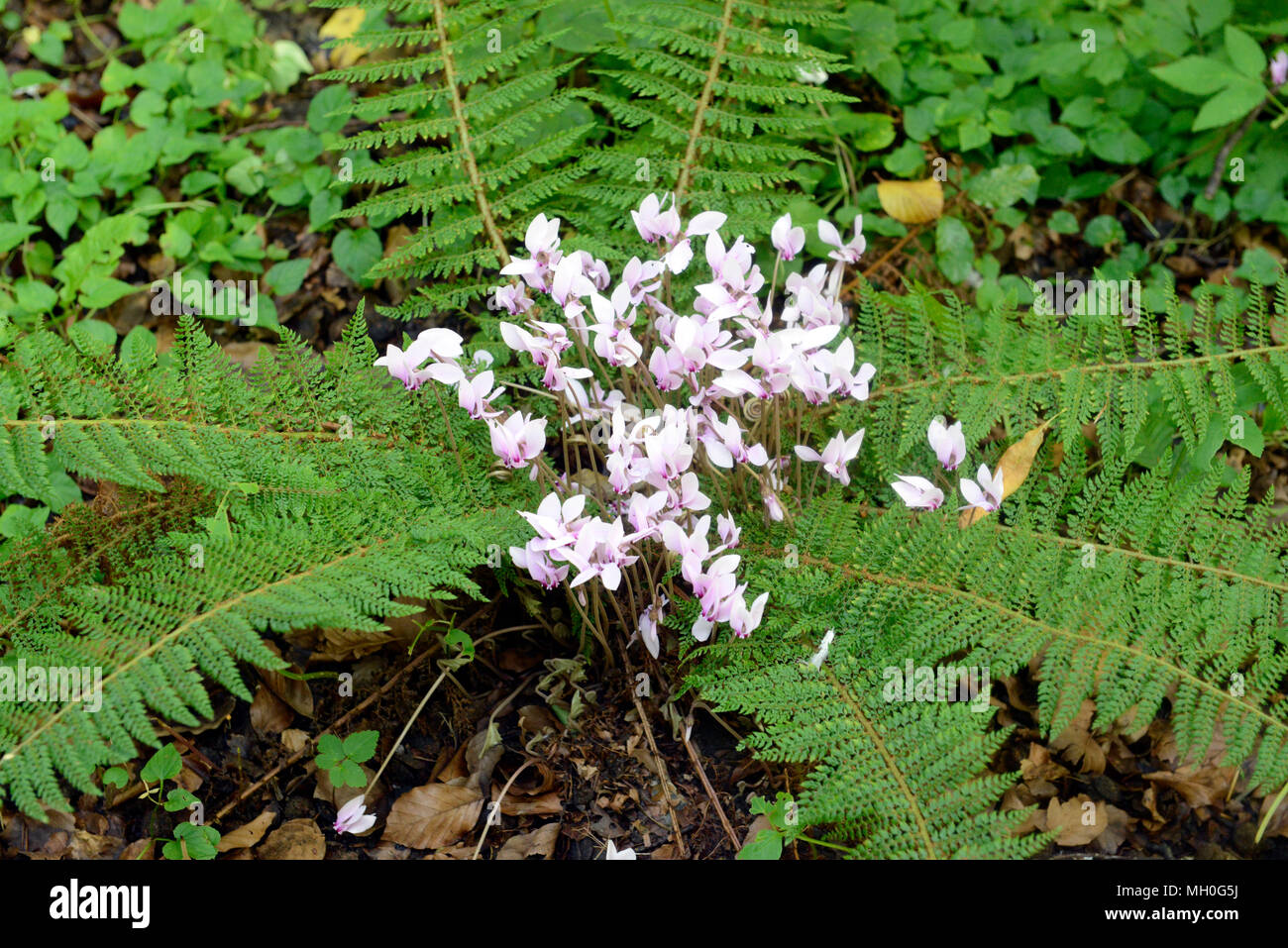 Cyclamen flowers bloom in middle of fern fronds on forest floor Stock Photo
